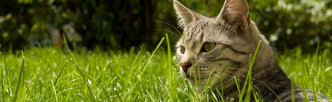cat lying in grass