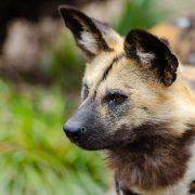 dog scratching ears