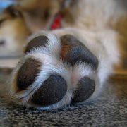 paw injury