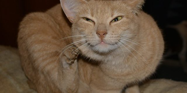 Ask an Expert: Cat Flea Prevention   Hastings Veterinary Clinic