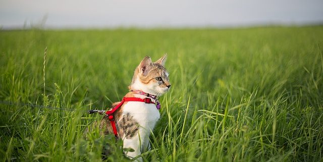 How to Train Your Cat to Walk on a Leash | Hastings Veterinary Clinic