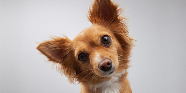 How Often Should My Dog's Ears Be Cleaned?   Hastings Veterinary Hospital