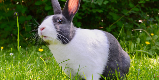 Health Benefits of Spaying or Neutering Your Pet Rabbit   Hastings Veterinary Hospital