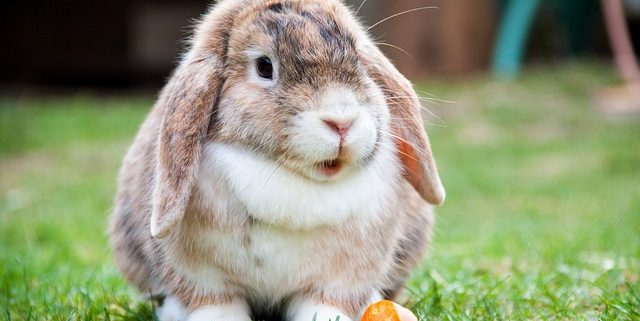 How to Take Care of Your Rabbit's Teeth   Hastings Veterinary Hospital